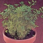 Parsley - Crispum Plain